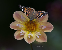 Painted Lady on Dahlia (Diane G. Zooms---Mostly Off) Tags: dahlia dianegiurcophotography paintedlady alittlebeauty naturethroughthelens