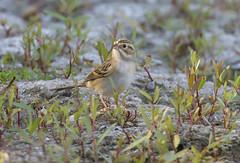 Clay-colored Sparrow (Hockey.Lover) Tags: claycoloredsparrow birds delvalleregionalpark explore