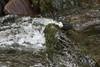 IMG_2288 (stuleeds) Tags: dipper eastlynriver river watersmeet