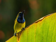 20170919-EM121911 (shutterblades) Tags: birds gardensbythebay olivebackedsunbird olympusem1mkii olympusmzuiko300mmf4pro14tc