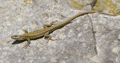 Wall Lizard (KHR Images) Tags: walllizard wild reptile basking winspit quarry dorset rocks sunshine nature wildlife nikon d500 kevinrobson khrimages