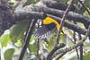 Black-hooded Oriole (steve happ) Tags: blackhoodedoriole calicut india kerala kozhikode oriolusxanthornus sarovarambiopark