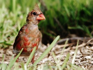 Young Cardinal (Male)