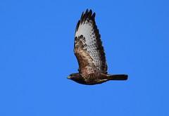 Buzzard at Titchmarsh Nature Reserve, Aldwincle, Northants. UK (Ian J Hicks) Tags: