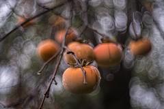 _DSC5390 (kymarto) Tags: bokeh bokehlicious bokehphotography dof depthoffield nature naturephotography beauty beautiful sony sonyphotography sonya7r2 oldlens vintagelens airescoral45cmf15 persimmons orange fruit autumn fall season seasonal japan beyondbokeh