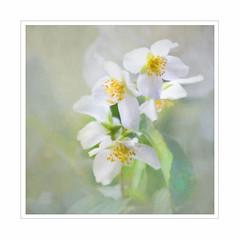Pure. (BirgittaSjostedt) Tags: philadelphus mockorange flower white garden plant nature parfume park texture paint painted scent birgittasjostedt ie magicunicornverybest