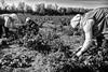 raspberry harvesters, vojvodina, Serbia (Zlatko Vickovic) Tags: streetstreetphoto streetphotography streetphotographybw streetbw streetphotobw blackandwhite monochrome zlatkovickovic zlatkovickovicphotography novisad serbia vojvodina srbija photojournalism documentary harvest harvesters work