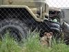 Guard dog (Skitmeister) Tags: stalinline minsk belarus беларусь минск музей museum wwii zil131 zil зил131