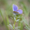 Tout doux (Mariette80) Tags: papillon argusbleu