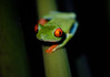Red-eyed Tree Frog (justinclayton99) Tags: costa red rica tortuguero agalychnis callidryas eyed forna national park redeyed tree frog