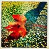 Fall II. #collegepark #maryland #commute #sidewalk #roadside #iPhone365 #iPhone7plus #iPhone #iPhonemacro #macro  #flower #flowersofinstagram (Kindle Girl) Tags: iphone collegepark maryland commute sidewalk roadside iphone365 iphone7plus iphonemacro macro flower flowersofinstagram