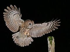 Tawny Owl (oddie25) Tags: canon 1dx 100400mmmk11 tawny tawnyowl owl wildlife wildlifephotography nature naturephotography birds bird birdphotography birdofprey