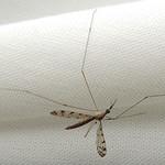 Crane fly: Limonia rostrata thumbnail