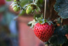 365-284 (Letua) Tags: 365project closeup details fresa fruit fruta frutilla gardening hogar home naturaleza nature primavera spring strawberry