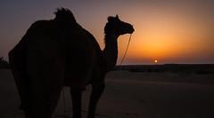 Rajasthan - Jaisalmer - Desert Safari with Camels-65