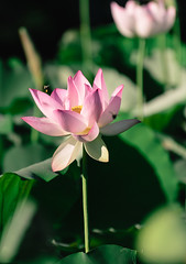 """lotus 1 • <a style=""""font-size:0.8em;"""" href=""""http://www.flickr.com/photos/129579084@N06/37645988916/"""" target=""""_blank"""">View on Flickr</a>"""