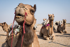 Rajasthan - Jaisalmer - Desert Safari with Camels-2