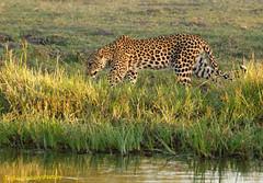 Leopard seeks river crossing at sunset (Ted Humphreys Nature) Tags: leopard bigcat bigfive botswana okavangodelta arica tedhumphreysnature