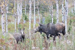 Moose & Calf - Orignal - Alces alces