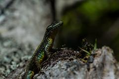 Disfrutando el sol (C.hess-fg) Tags: lagartija liolaemus pictus lizard lagarto nikon nikond5200