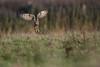 R17_2177 (ronald groenendijk) Tags: cronaldgroenendijk 2017 asioflammeus rgflickrrg animal bird birds birdsofprey groenendijk nature natuur natuurfotografie outdoor owl ronaldgroenendijk roofvogels shortearedowl uil velduil vogel vogels wildlife