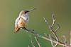 Hummingbird (Life of David) Tags: california camarillo canon5dmarkiv selasphorussasin usa wildlife allenshummingbird backyard beautiful beauty bird cute hummingbird nature world100f