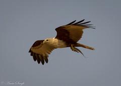 Brahminy Kite with Prey (Anav Singh Wildlife) Tags: frogmouth eagle kite flight srilankafrogmouth nocturnal india goa