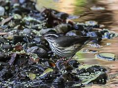 Louisiana Waterthrush, Parkesia motacilla (bruce_aird) Tags: