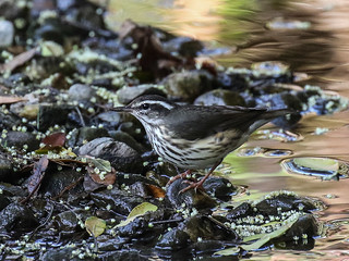 Louisiana Waterthrush, Parkesia motacilla