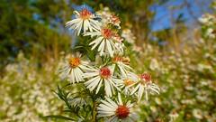 Wild flowers - 3923 (YᗩSᗰIᘉᗴ HᗴᘉS +9 500 000 thx❀) Tags: flower flora wildflower fleur nature hensyasmine green belgium namur 7dwf