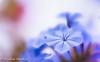 autumn's (frederic.gombert) Tags: flower plumbago color blue light sun autumn colors macro garden plant nikon sunlight