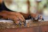 Wild paws (crisgarr) Tags: perro dog chien cane paw patas animal miniaturepinscher pinchserminiatura minipin minpin pinsher 7dwf