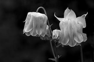 fine art black & white high contrast stack of gorgeously textured white aquilegia (Columbine), a Potterton garden, Aberdeenshire, Scotland