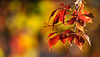 Fresh Colours For A New Week (AnyMotion) Tags: virginiacreeper selbstkletterndejungfernrebe parthenocissusquinquefolia maple ahorn leaf leaves blatt blätter laub autumncolours herbstfärbung 2017 plant pflanze anymotion nature natur frankfurt 7d2 canoneos7dmarkii colours colors farben autumn fall herbst automne otoño ngc npc