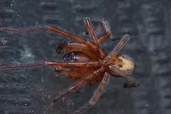 Arachtober 24(b) (Procrustes2007) Tags: spider amaurobius amaurobiussimilis male arachnid arachtober laceweb nikond50 nikkor50mmais tamron2xteleconverter vivitarextensionrings68mmtotal flash macro greatcornard suffolk uk britain england