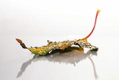 rainy leaf 24/31 (sure2talk) Tags: rainyleaf leaf rain raindrops autumn highkey onwhite reflection nikond7000 lensbaby lensbabycomposerpro sweet50optic macroconverter 8mm october2017amonthin31pictures explore