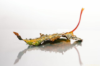 rainy leaf 24/31