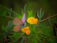 Vissuta....... (ilfotografodellapausapranzo1) Tags: butterfly summer endofsummer fantasticnature amazingnature yellow