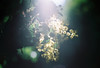 Hazy Wattle (Katie Tarpey) Tags: lensflare wattle flowers native australiannative light haze dreamy ethereal yellow green film 35mm nikonfm10 nikkor50mm14 bokeh depthoffield agfa agfavistaplus400