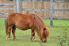 Fidget III (meniscuslens) Tags: chestnut shetland pony field fence grass horse trust charity rescue buckinghamshire