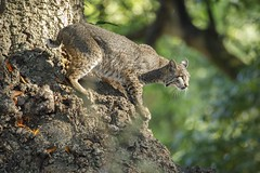 Bobcat in Tree (toryjk) Tags: withmk catinatree nature bayarea baylynx wildcat wild bobcat feline treecat lynxrufus