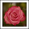 Rose (marc.lacampagne) Tags: canon eos dslr dof nature rose tamron 90mm 28 closeup ngc