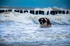 galli cadzand31 (cdandrifosse) Tags: galli saint bernard mer cadzand chien
