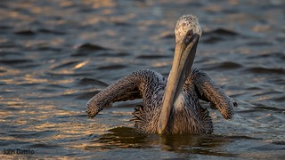 Like a water park ride, a Brown Pelican tryes to remain strait while riding the strong currents of the changing tide of an ocean inlet into the rising sun.   Taken at Gulf Shores Alabama.