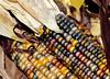 Glass Gem corn (Millie (On and Off)) Tags: glassgemcorn colorful multicoloured cob corn nature tamron18400