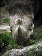 Rhinoceros (Luc V. de Zeeuw) Tags: diegaardeblijdorp rhinoceros rotterdam rotterdamzoo zoo zuidholland netherlands