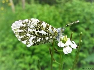 Butterfly 1478