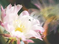 Echinopsis (~janne) Tags: kamera pflanzen omd em1 echinopsis spiegelung blume kaktus natur flora cactaceae cactus flower nature plant