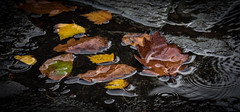 Autumn Monster ! (DP the snapper) Tags: monster leaves water autumn raindrops swallowscottage