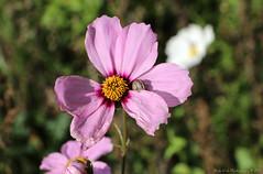 Late Bloomers (Rick & Bart) Tags: bloemen flowers blümen wildflowers nature bloom rickvink rickbart canon eos70d flora cosmos cosmosbipinnatus mexicanaster cosmea wildflower